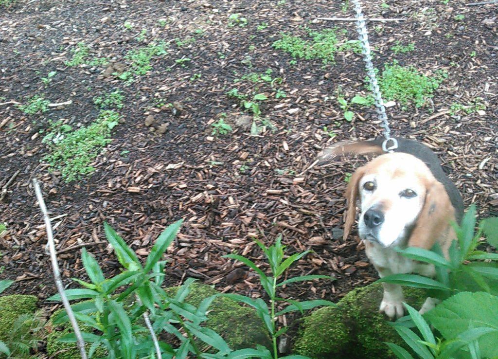 ビーグル犬 リリー