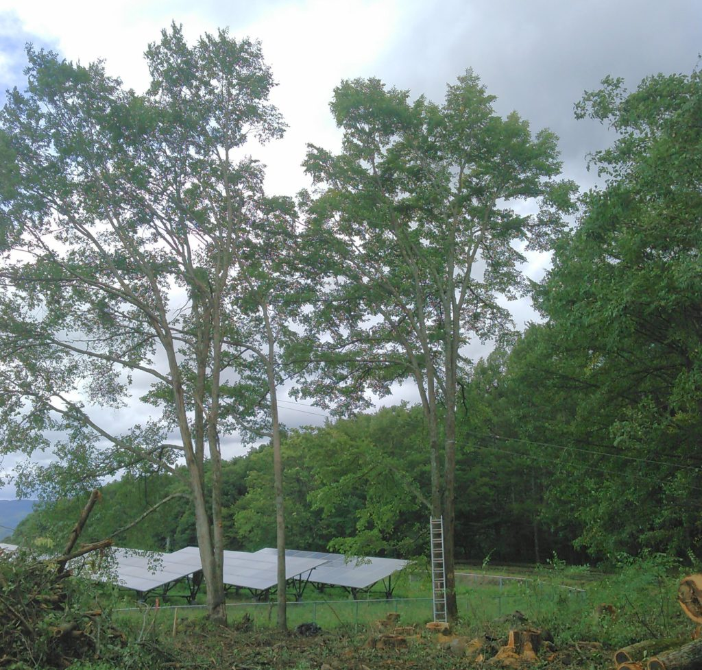 太陽光発電の支障木ハルニレ
