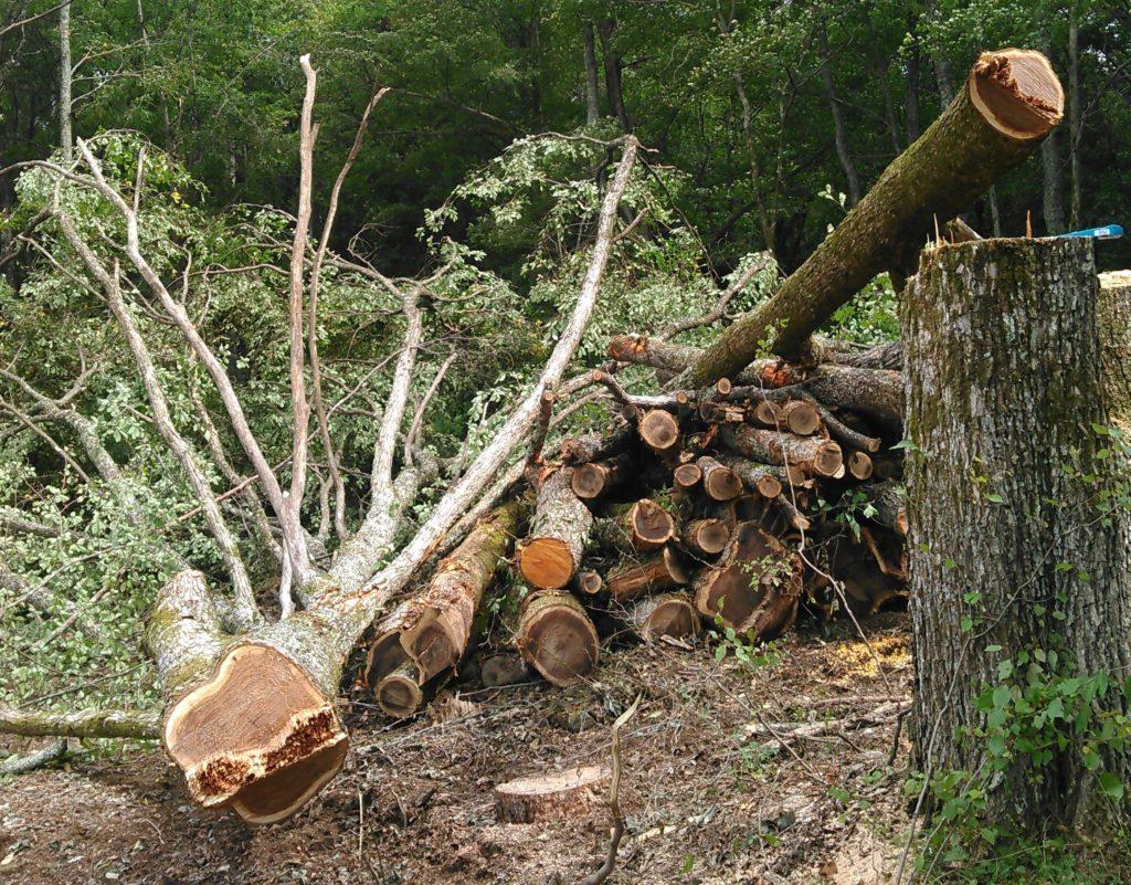 ハルニレ伐採成功