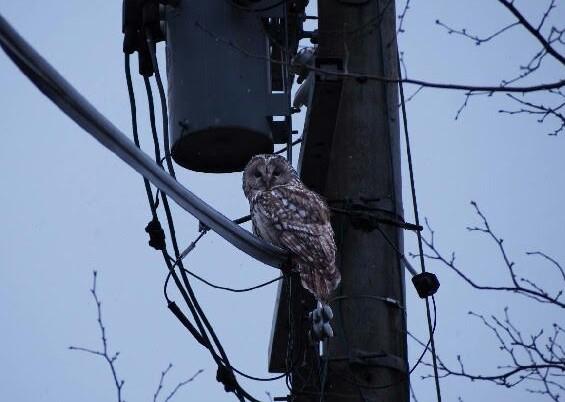 電線にとまったフクロウ