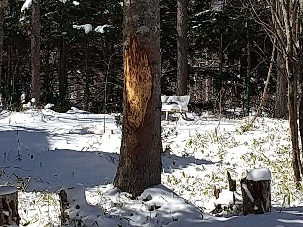 鹿にたべられたドイツトウヒ