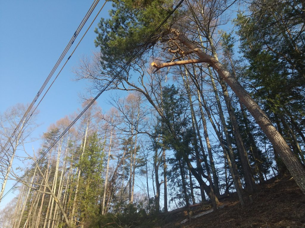 傾いたクリの木の伐採