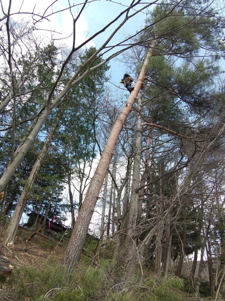 特殊伐採で枝払い