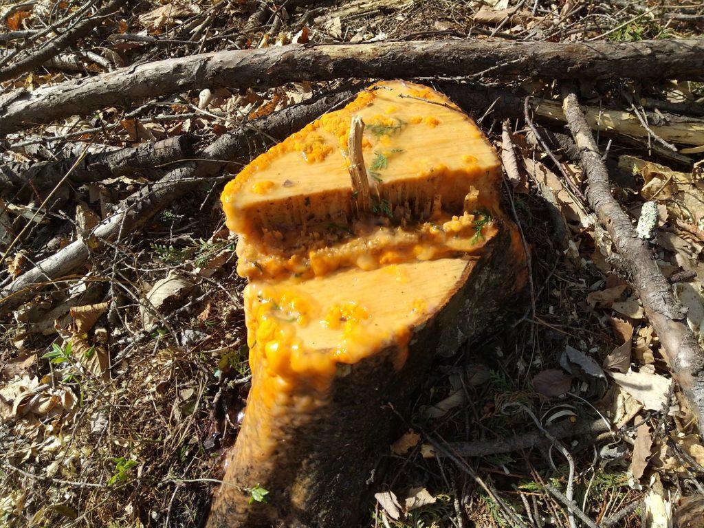 ミズキの切り株と樹液