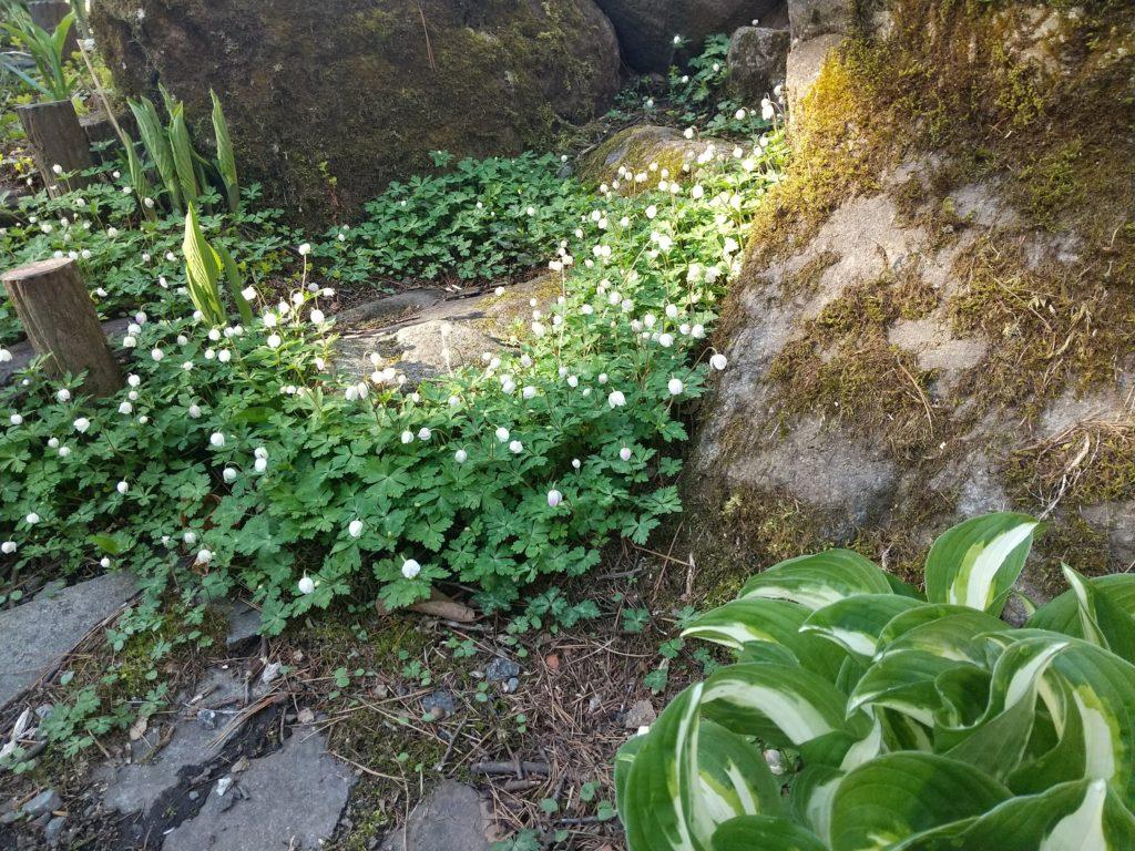 二輪草とギボウシ