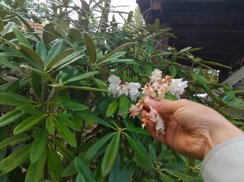 シャクナゲの花がら摘み