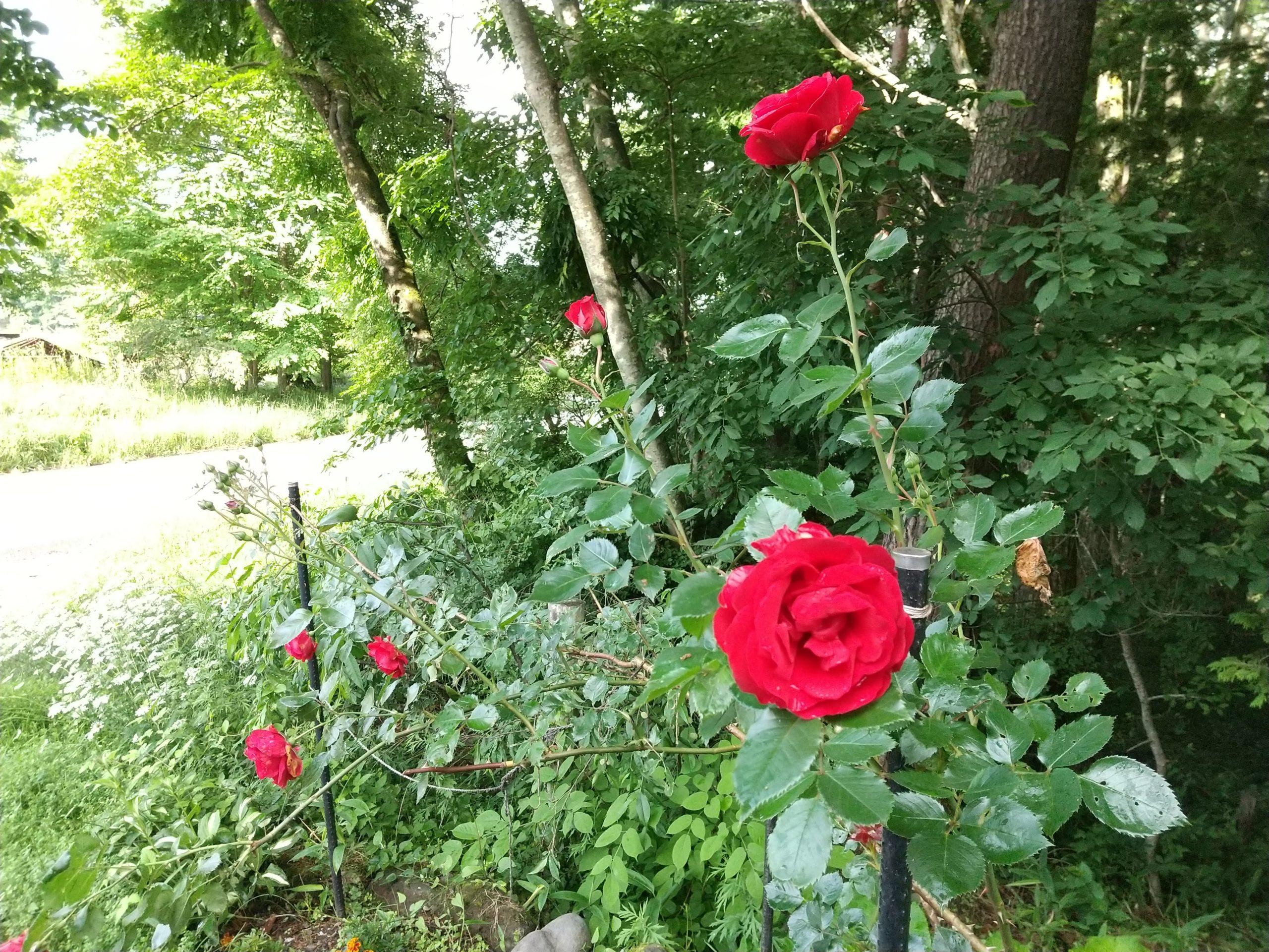 名もなき赤いつるバラ