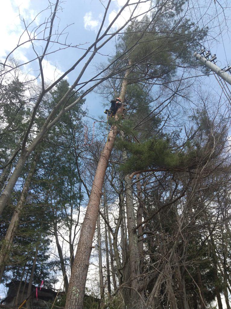 傾いた赤松の伐採