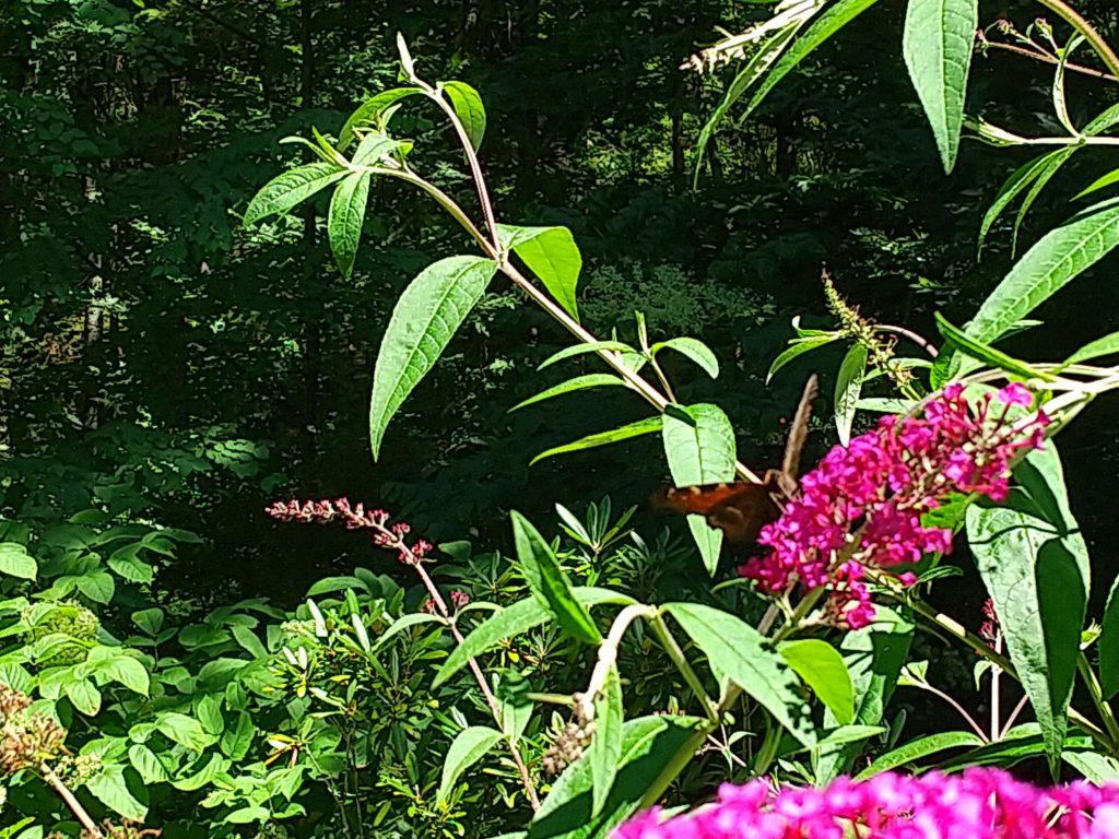 ブッドレアとクジャク蝶