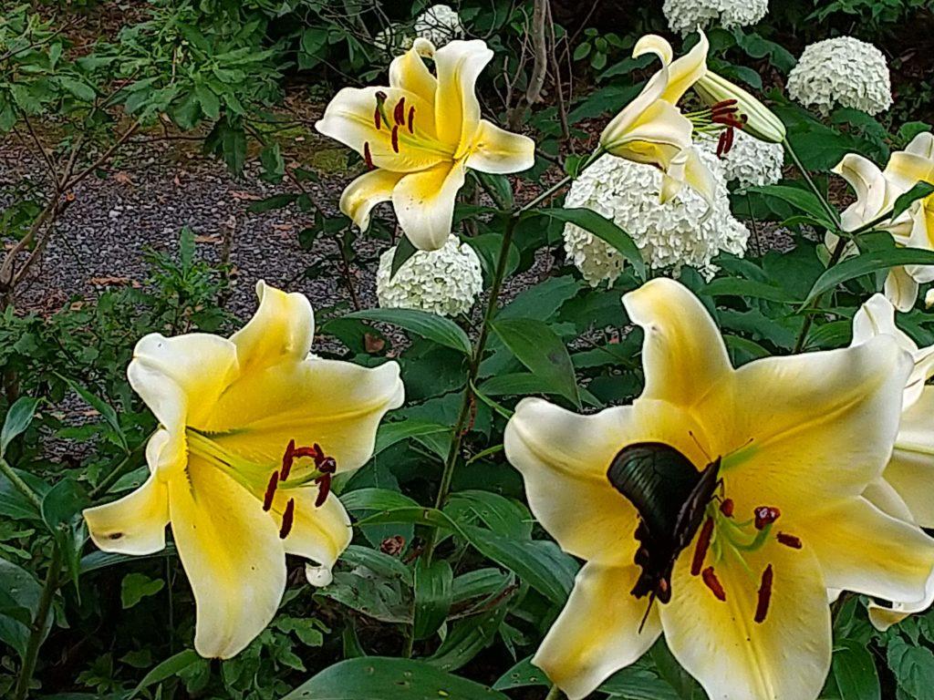 黄色のカサブランカとミヤマカラスアゲハ