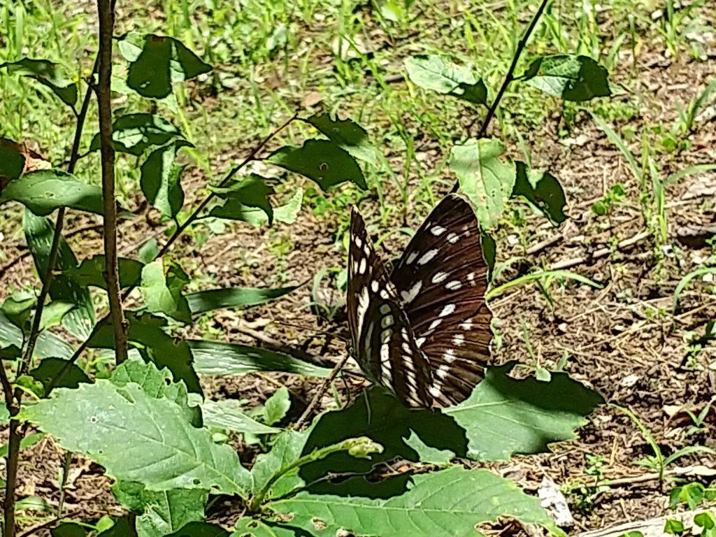 オオミスジ蝶