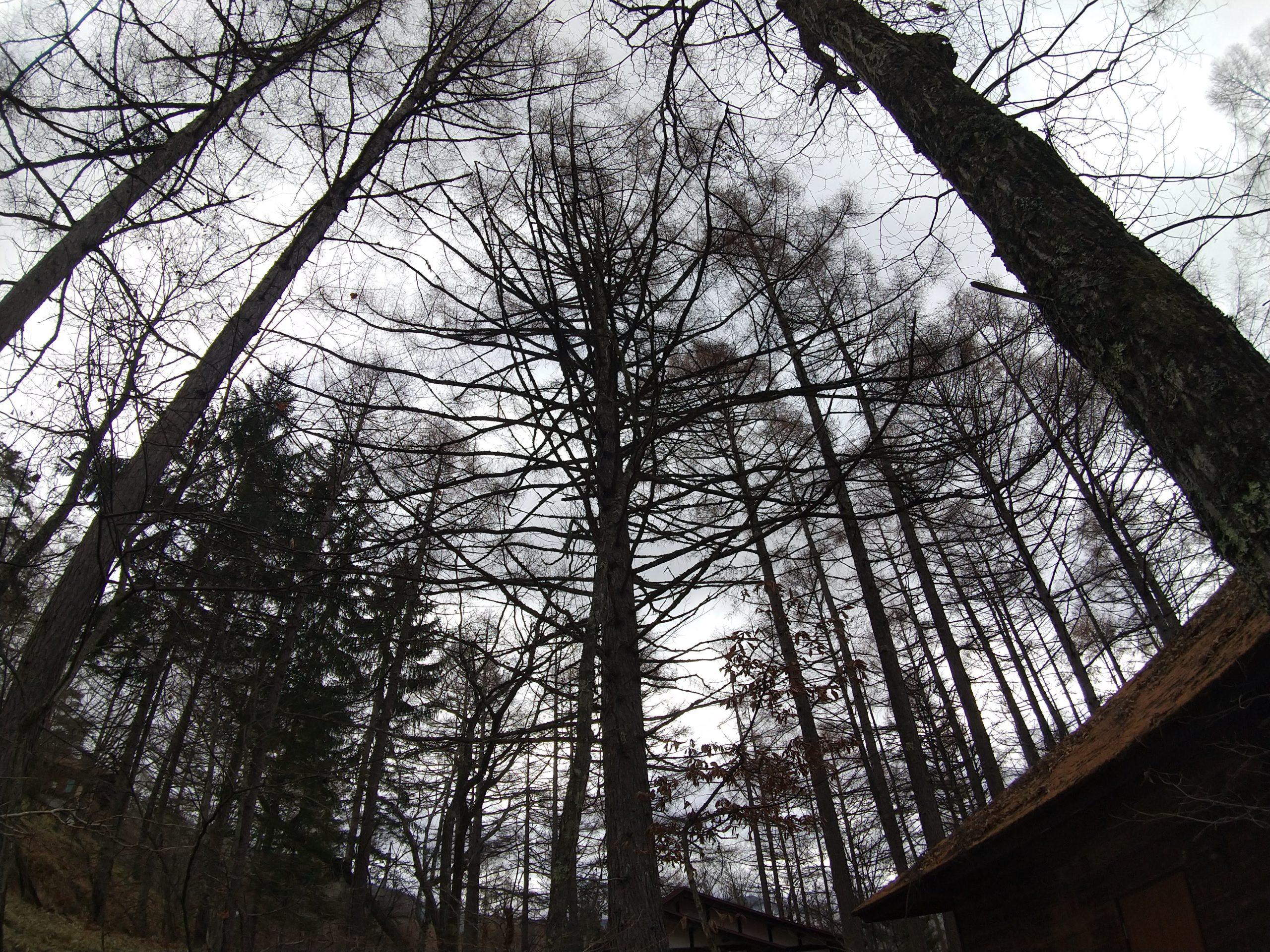枝の多いカラマツ