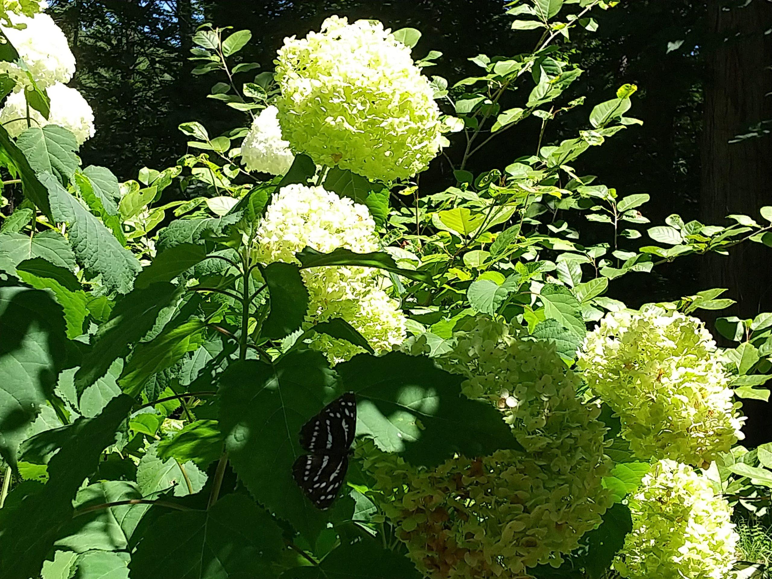夏のアナベルとミスジ蝶