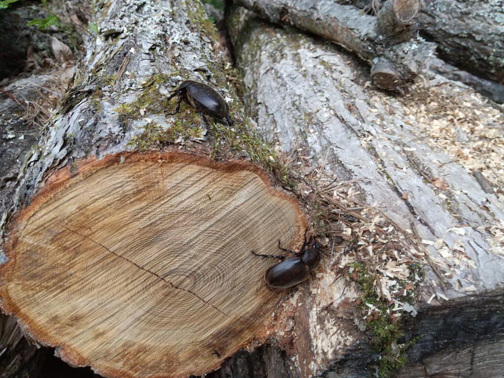 薪にいたカブトムシ