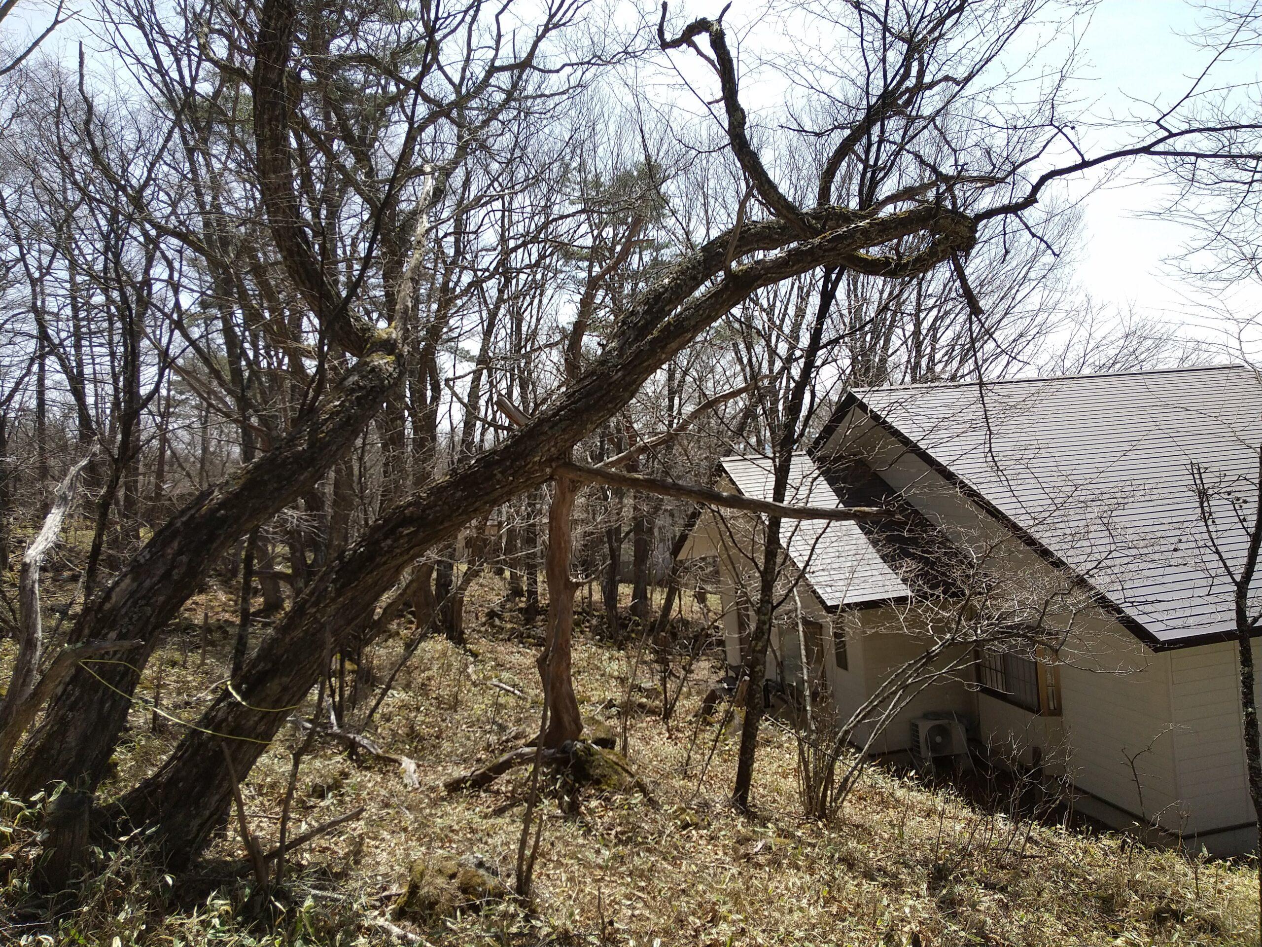 屋根の上のクリの木