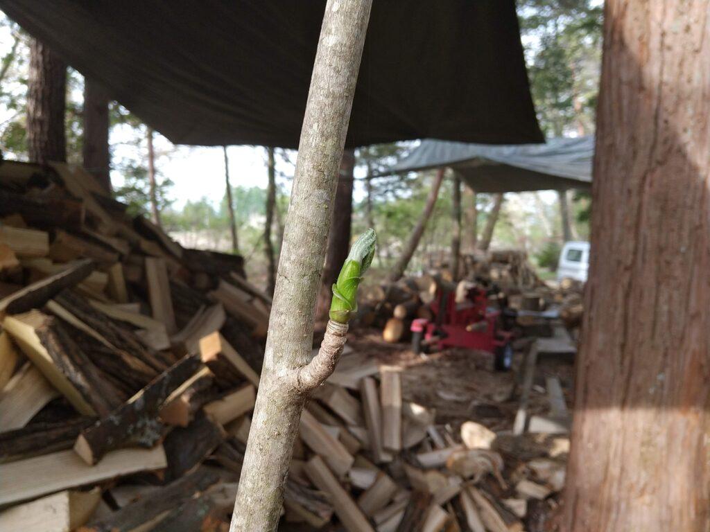 薪割り場のコシアブラ