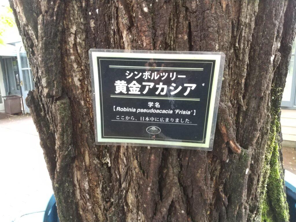 黄金アカシアの大木