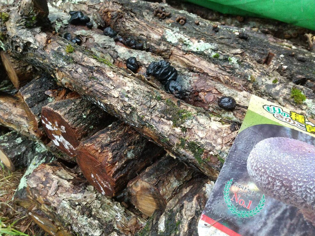 シイタケの原木に生えたゴムタケ