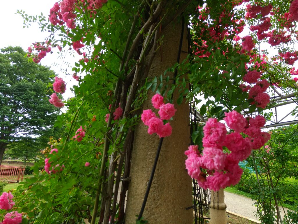 ハイジの村のバラのアーチ