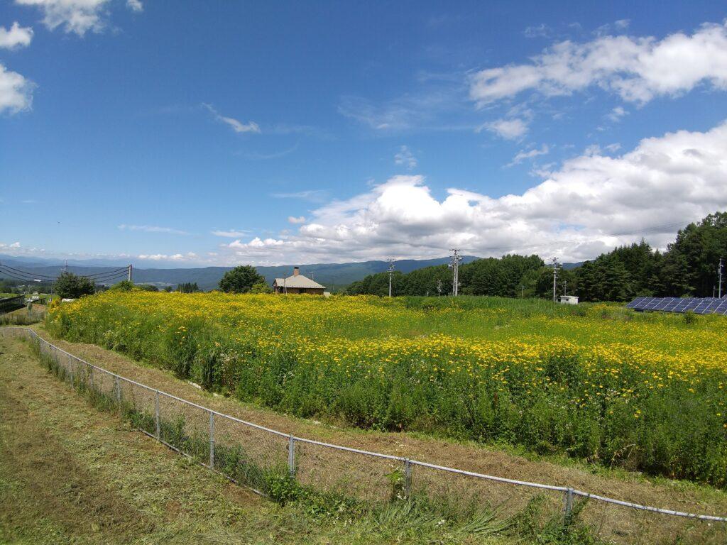 不耕作地のルドベキア