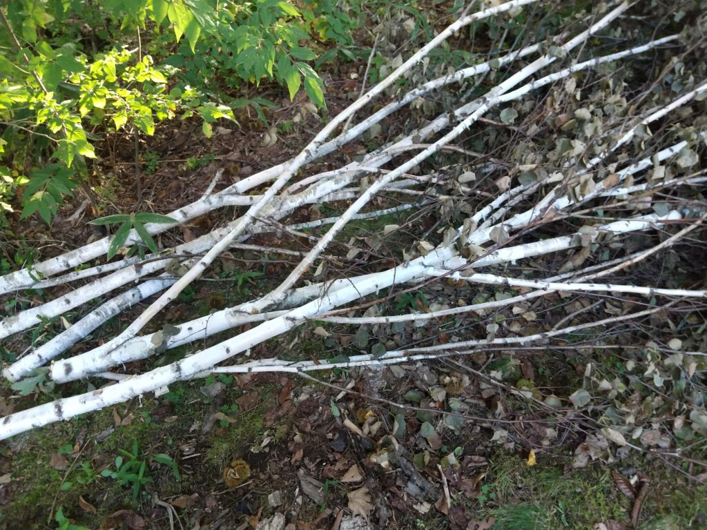 キレイな白樺の枝
